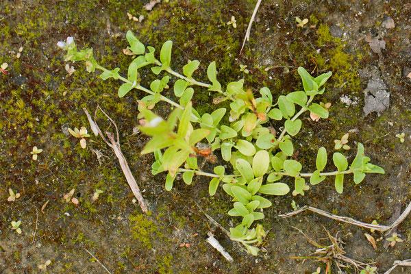 Tijmereprijs   Veronica serpyllifolia