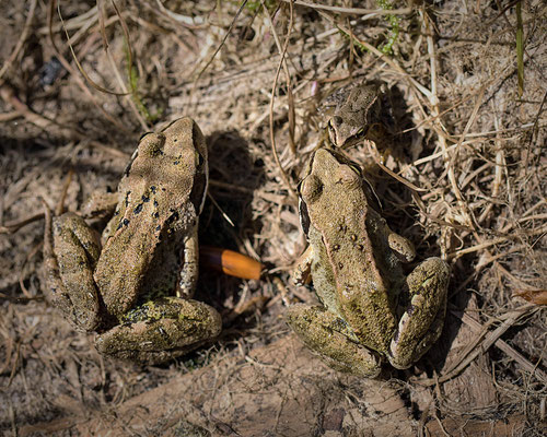 Bruine Kikker Rana temporaria