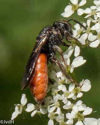 Grote bloedbij Sphecodes albilabris