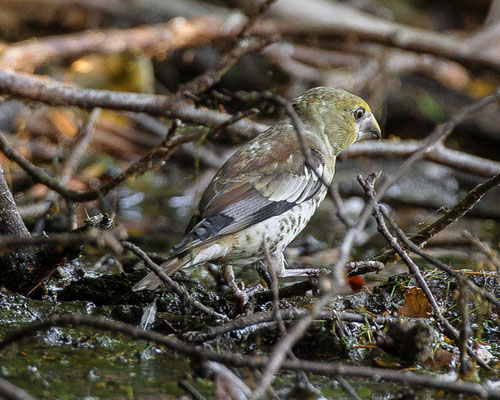 appelvink  Coccothraustes coccothraustes