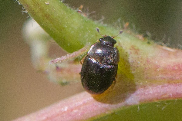 kever onbekend  coeoptera indet.