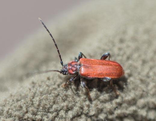 Vuurboktor  Pyrrhidium sanguineum
