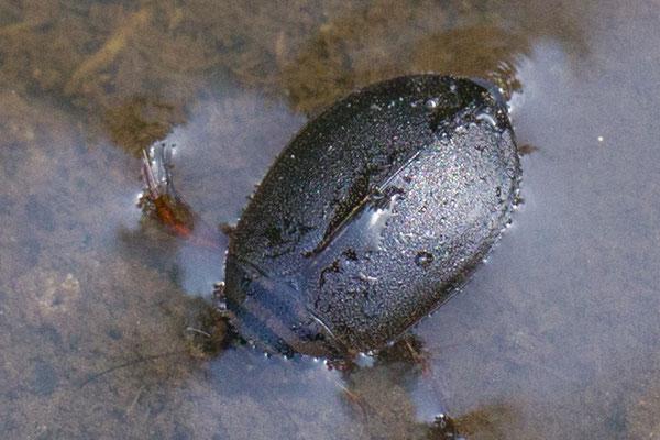 Gegroefde haarwaterroofkever  Acilius sulcatus