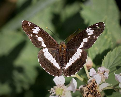 Kleine ijsvogelvlinder Limenitis camilla