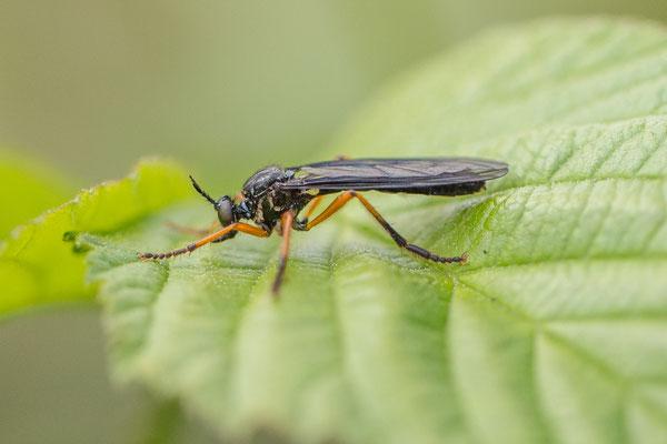 Zwartvlerkbladjager   Dioctria oelandica