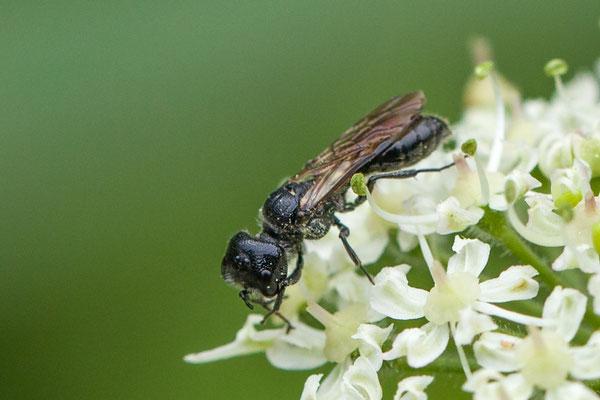 Bladluizendoder    Pemphredon spec.