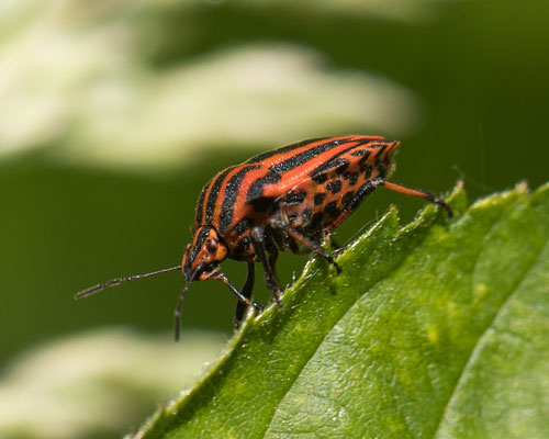 Pyjamaschildwants    Graphosoma italicum