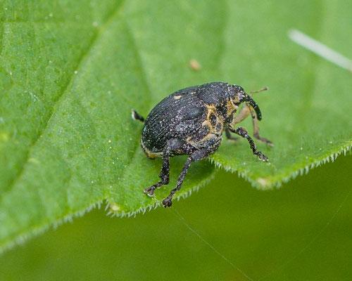 Lissenboorder Mononychus punctumalbum