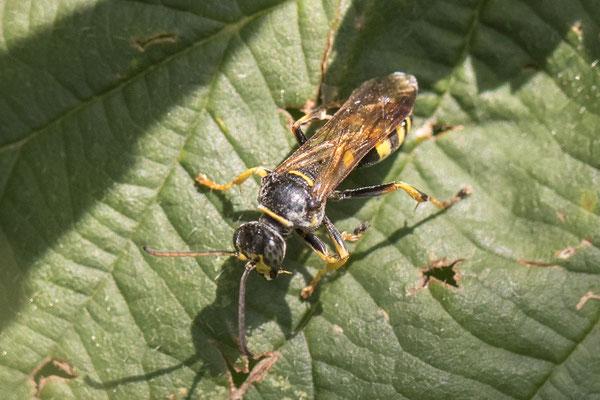 Gewone Vliegendoder  Mellinus arvensis
