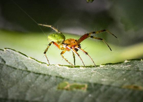 Komkommerspin onbekend Araniella spec.