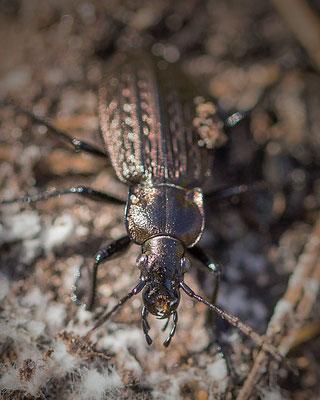 Gekorrelde veldloopkever Carabus granulatus