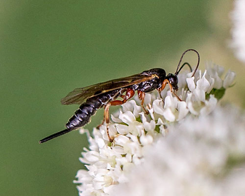Sluipwesp onbekend  Ichneumonidae indet