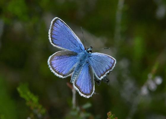 Heideblauwtje  Plebejus argus