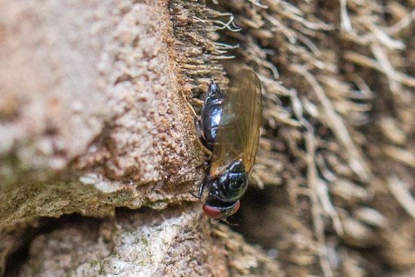 Lansvlieg   Lonchaeidae indet.