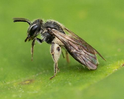 Fluitenkruidbij   Andrena proxima