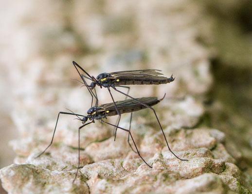 Gnophomyia spec.