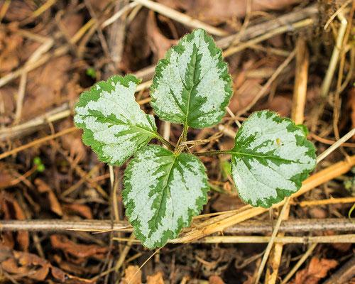 Bonte gele dovenetel Lamiastrum galeobdolon subsp. argentatum