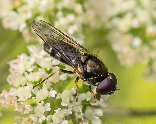 Paddenstoelgitje Cheilosia scutellata