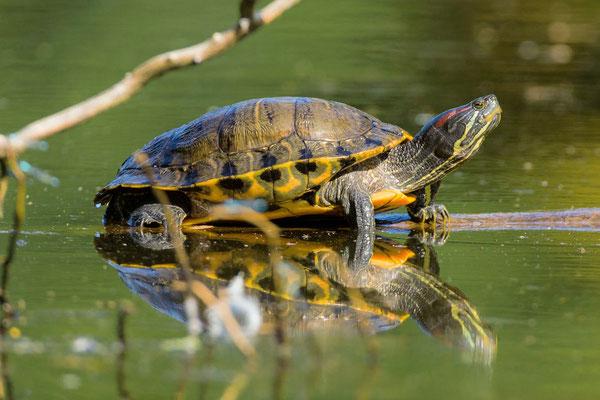 roodwangschildpad
