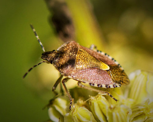 Bessenschildwants Dolycoris baccarum