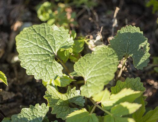 Look-zonder-look    Alliaria petiolata