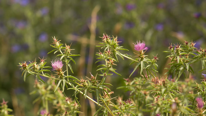 Kalketrip Centaurea calcitrapa