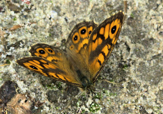Argusvlinder Lasiommata megera