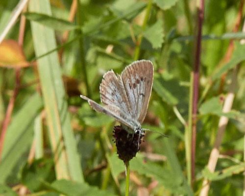 Pimpernelblauwtje    Phengaris teleius