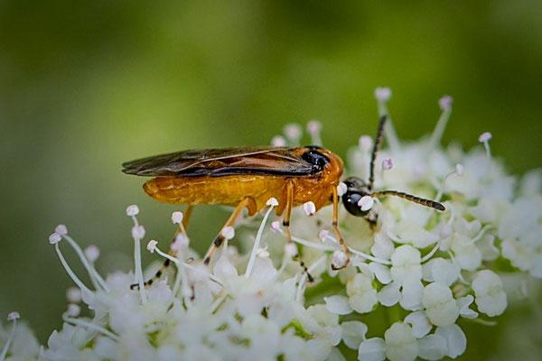 Knollenbladwesp Athalia rosae