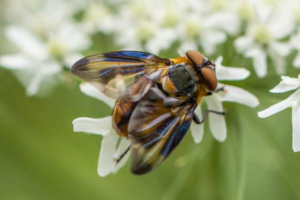 Wantssluipvlieg  Phasia hemiptera