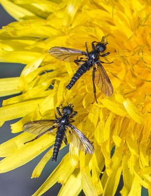 Kleine rouwvlieg   Bibio lanigerus