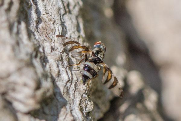 Myennis octopunctata
