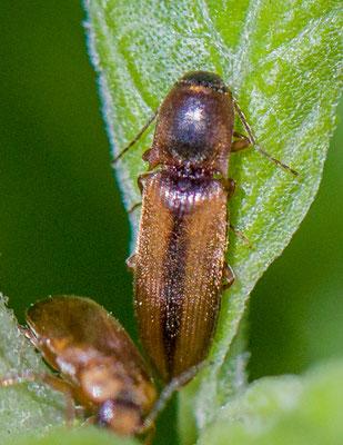 Gerande kniptor Dalopius marginatus