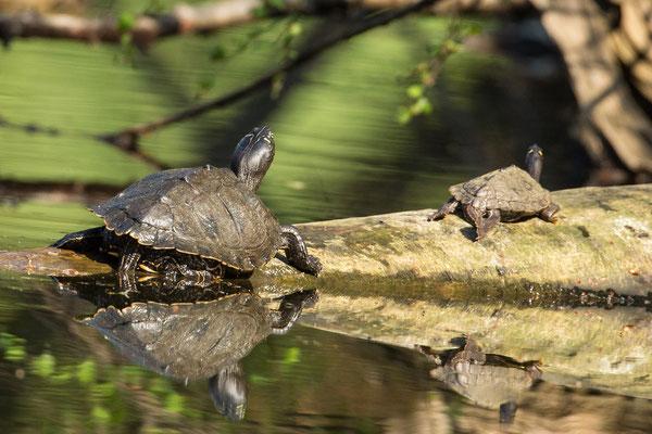 zaagrugschildpad