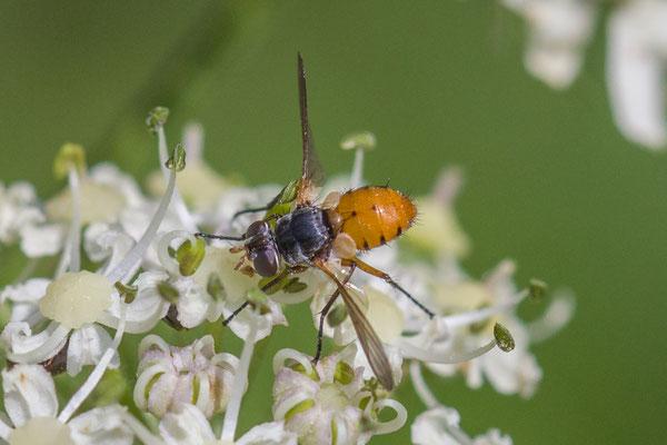 Subclytia rotundiventris