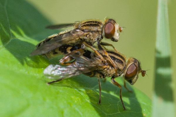 Zoenwaterzweefvlieg  Anasimyia lunulata