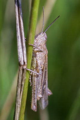 Chorthippus biguttulus-group