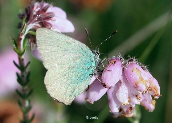 Groentje Callophrys rubi