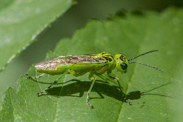Rhogogaster viridis s.l.