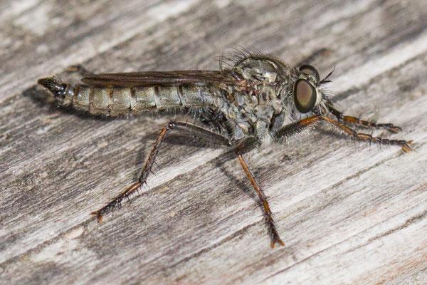 Gewone roofvlieg - Tolmerus atricapillus