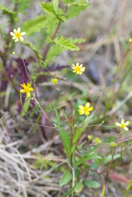 Egelboterbloem Ranunculus flammula