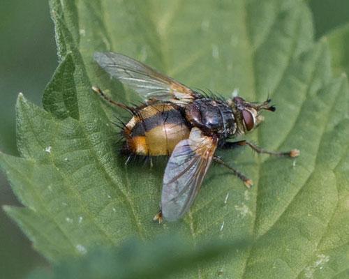 sluipvliegTachina fera/magnicornis