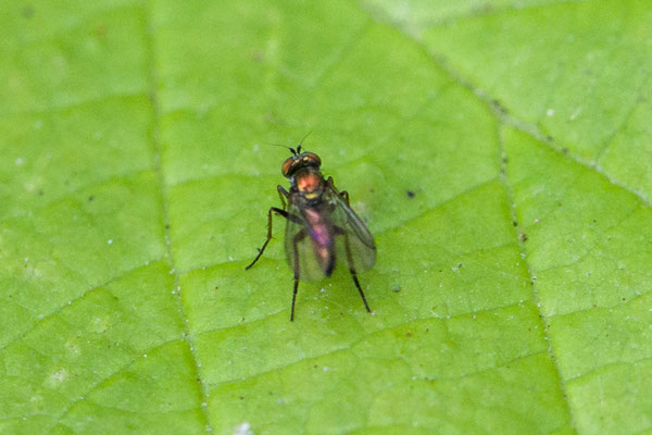 Slankpootvlieg onbekend Onzeker  Dolichopodidae indet.