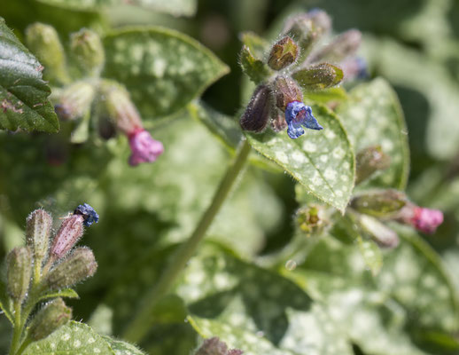 Gevlekt longkruid Pulmonaria officinalis