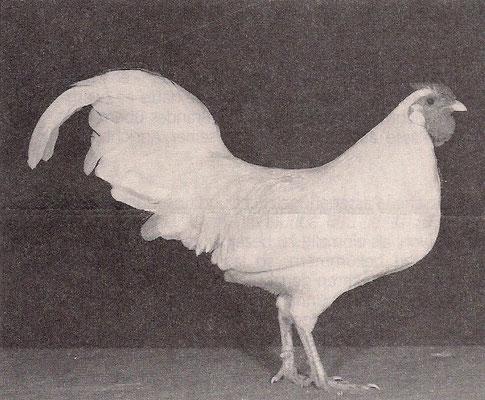 1,0 Zwerg-Rheinländer, weiß 1967