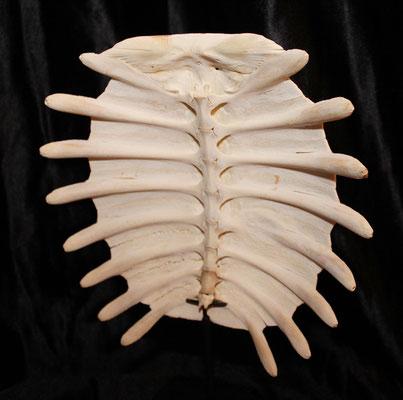 Preciosa concha de tortuga con peana / Beautiful turtle shell with stand (oddities)