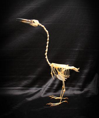 Esqueleto (ARDEOLA SPECIOSA) Skeleton