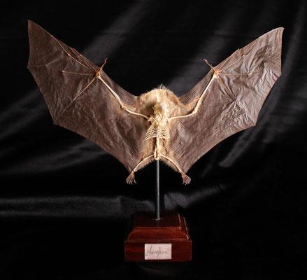 Murciélago (Macroglossus) Bat