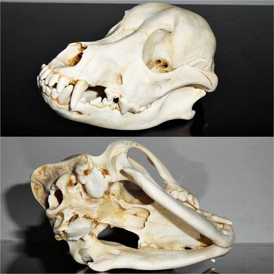Cráneo de perro (Original) - Oddities