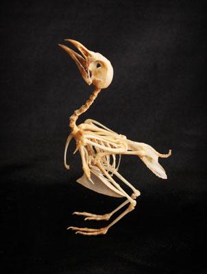 Esqueleto pájaro (Coturnix Japonica) Bird skeleton